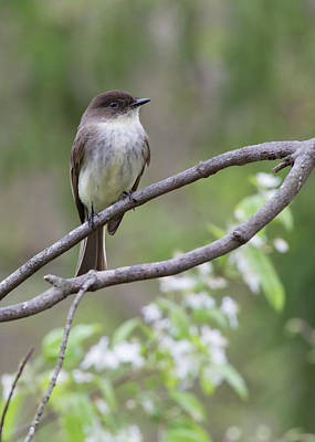 Photograph - Bird - Eastern Phoebe by Ron Grafe