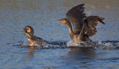 Fight Photograph - Bird Fight !!! by Alfred Forns