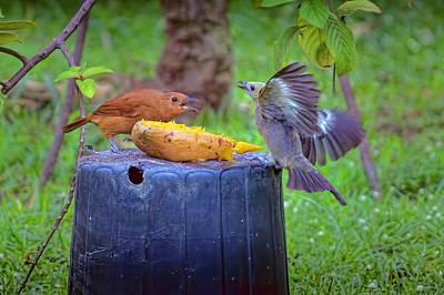 Photograph - Bird Fight 1 by Nadia Sanowar