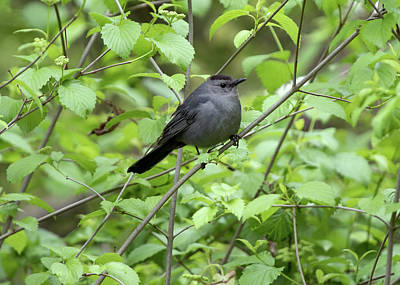 Photograph - Bird - Gray Catbird by Ron Grafe