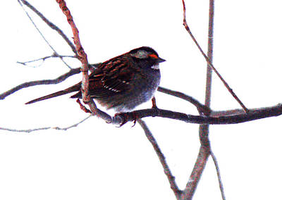 Photograph - Bird In A Winter Bush. by Roger Bester