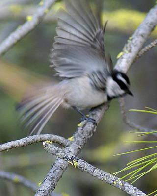 Photograph - Bird In Action 2 by Ben Upham III