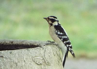 Hairy Woodpecker Photograph - Bird In Black And White  by Michael Dillon