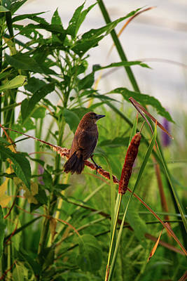 Bird In Cattails Art Print