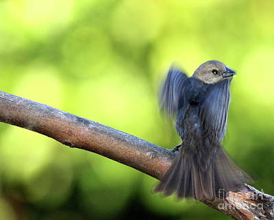 Photograph - Bird In Motion . 40d7405 by Wingsdomain Art and Photography