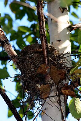 Bird Nest In Birch Tree Art Print