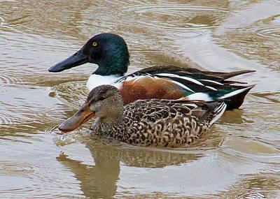 Photograph - Bird - Northern Shovelers by Ron Grafe