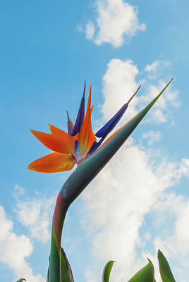 Photograph - Bird Of Paradise 2 by Pamela Williams