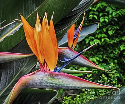 Photograph - Bird Of Paradise 2 by Rudi Prott