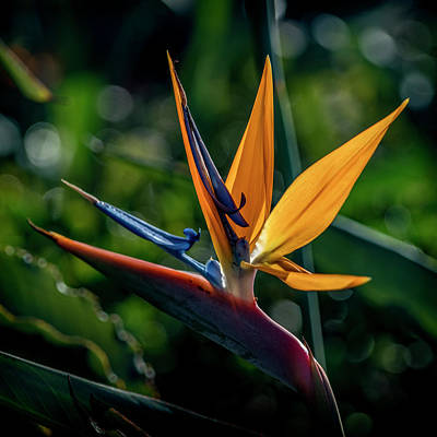 Photograph - Bird Of Paradise 7r2_dsc3363_17-01-17 by Greg Kluempers