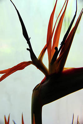 Photograph - Bird Of Paradise Abstract 10 by Mary Bedy