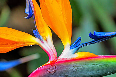 Photograph - Bird Of Paradise After The Rain by Dorothy Cunningham