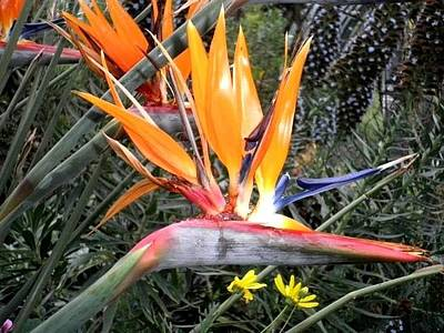 Photograph - Bird Of  Paradise by Al Pascucci