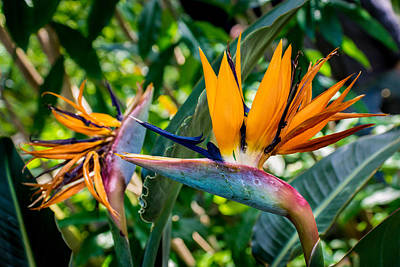 Photograph - Bird Of Paradise by Bill Pevlor