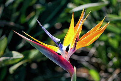 Photograph - Bird Of Paradise by Brad Granger