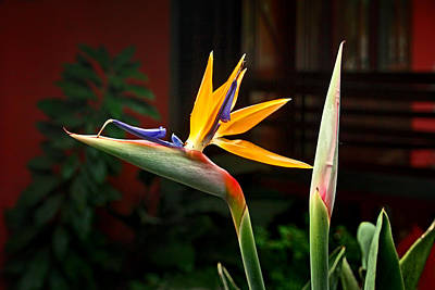 Photograph - Bird Of Paradise by Carolyn Derstine