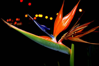Photograph - Bird Of Paradise by Charles Bacon Jr
