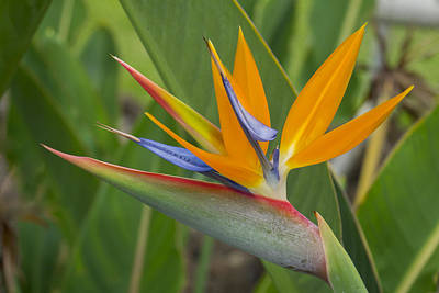 Photograph - Bird Of Paradise by Christina Lihani