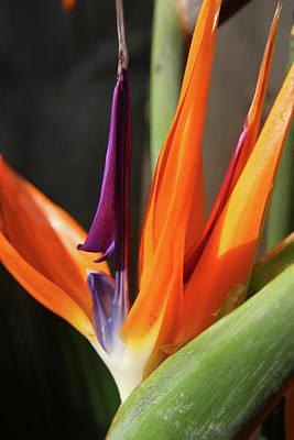 Photograph - Bird Of Paradise Closeup 5 by Mary Bedy