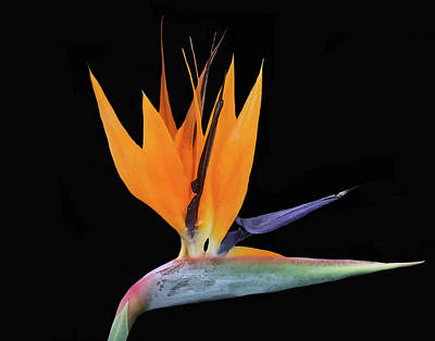 Mixed Media - Bird Of Paradise by Dennis Buckman