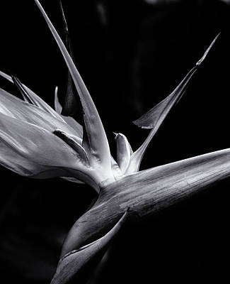 Photograph - Bird Of Paradise by Erik Poppke