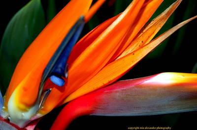 Photograph - Bird Of Paradise Flower by Mia Alexander