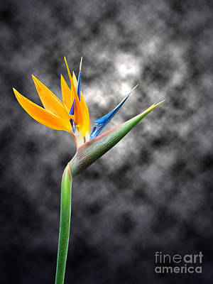 Blue Photograph - Bird Of Paradise Flower On Smoky Background by Judy Whitton