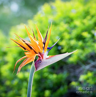 Royalty-Free and Rights-Managed Images - Bird Of Paradise Flower by Tim Hester