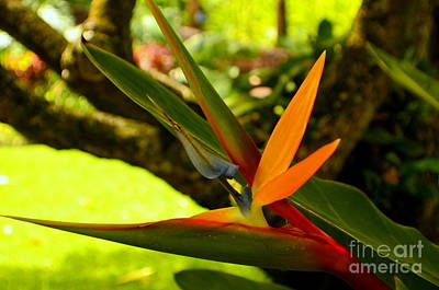 Photograph - Bird Of Paradise In Early Morning by Mary Deal