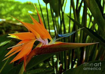 Photograph - Bird Of Paradise In The Late Afternoon by Mary Deal
