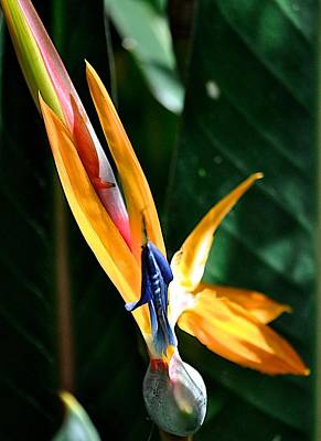 Photograph - Bird Of Paradise by Kristina Deane