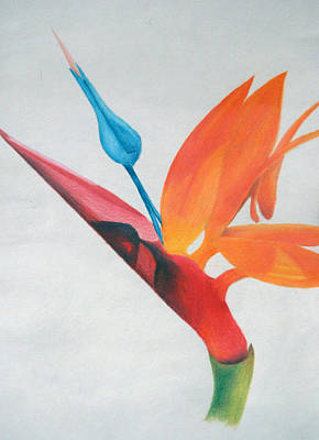 Drawing - Bird Of Paradise by Michael Ringwalt