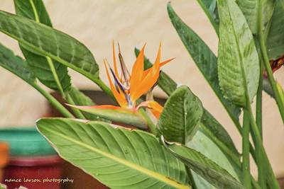 Photograph - Bird Of Paradise by Nance Larson