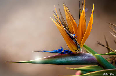 Photograph - Bird Of Paradise by Patrick Boening