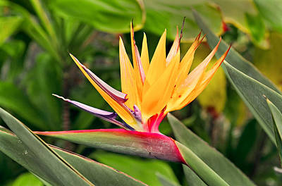 Bird Of Paradise Photo Art Print by Peter J Sucy