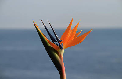 Photograph - Bird Of Paradise by Phyllis Britton