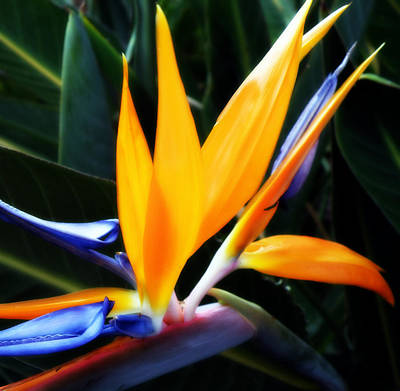 Photograph - Bird Of Paradise by Rose  Hill