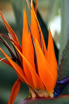 Photograph - Bird Of Paradise by Sheila Brown
