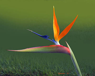 Photograph - Bird Of Paradise by T Guy Spencer