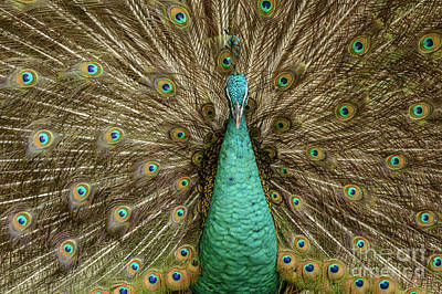 Peacock Art Print by Werner Padarin