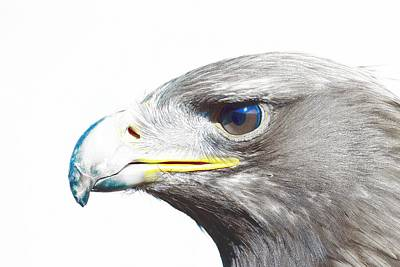 Eagle Painting - Bird Of Prey - Eagle 2 by Celestial Images
