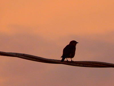 Photograph - Bird On A Wire In Morning Light by Virginia Kay White