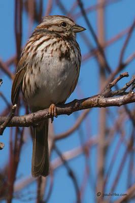 Photograph - ...bird On Branch.... by Paul Vitko