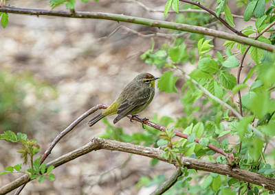 Photograph - Bird - Palm Warbler by Ron Grafe