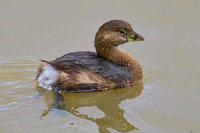 Photograph - Bird - Pied-billed Grebe by Ron Grafe