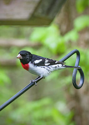Photograph - Bird - Rose Breasted Grosbeak by Ron Grafe