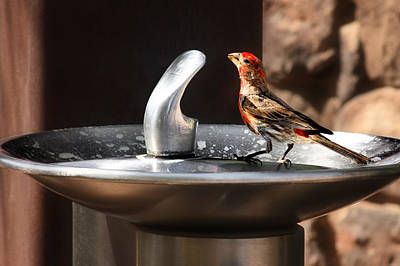 House Finch Photograph - Bird Spa by Christine Till