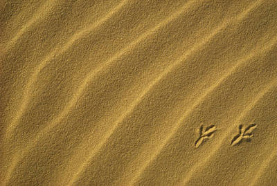Photograph - Bird Tracks On Sand Dune by Gerry Ellis