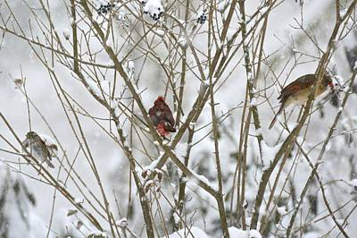 Photograph - Bird Trio In Snowy Branches by Tana Reiff