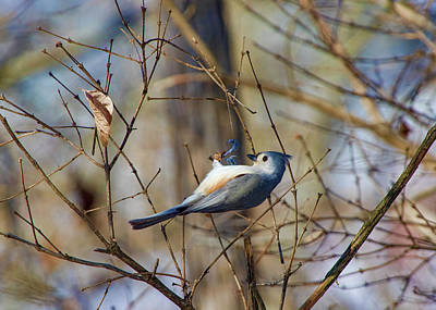 Photograph - Bird - Tufted Titmouse Hanging On A Twig by Ron Grafe